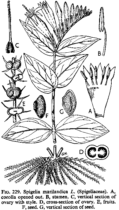 Figure 208-spigelia-drawing