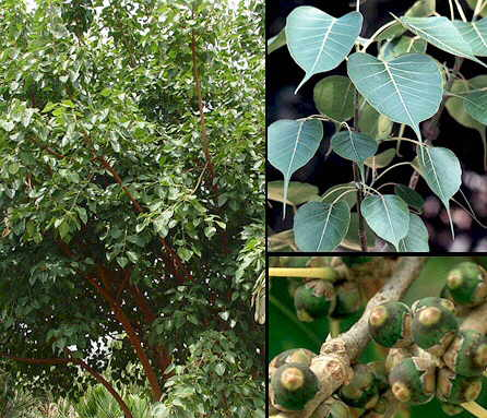 Ficus Religiosa as growth hormone